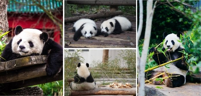 Bambus ist das Hauptnahrungsmittel von Pandas